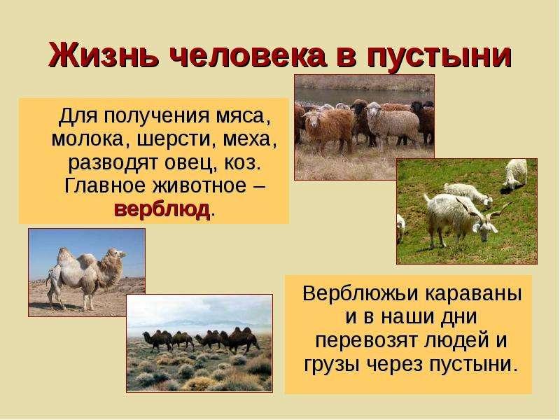 Жизнь человека в пустыни Для получения мяса, молока, шерсти, меха, разводят овец, коз. Главное живот