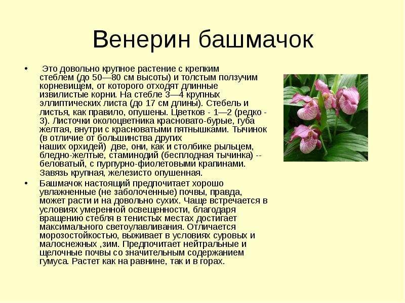 Венерин башмачок Это довольно крупное растение с крепким стеблем (до 50—80 см высоты) и толстым полз