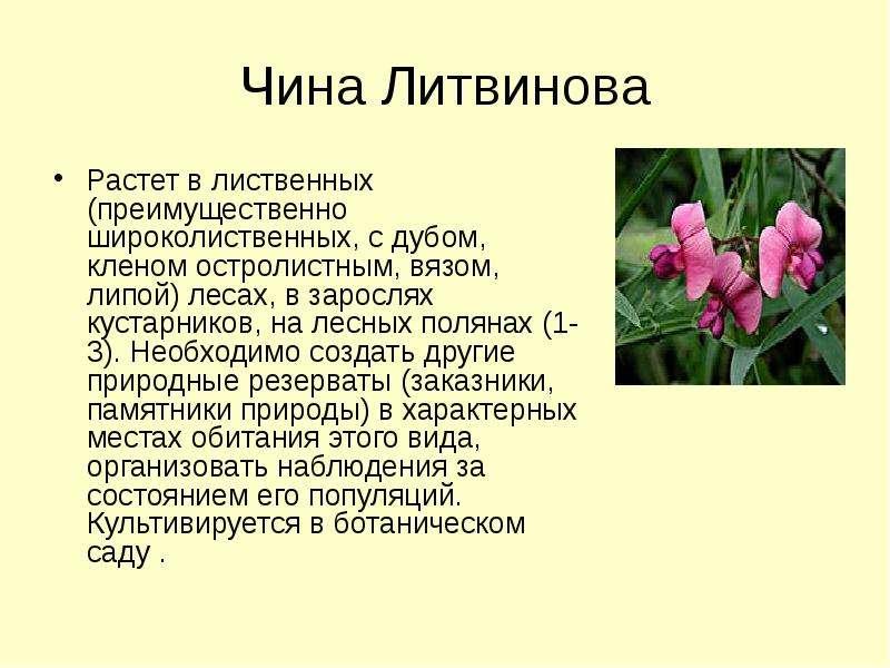 Чина Литвинова Растет в лиственных (преимущественно широколиственных, с дубом, кленом остролистным,