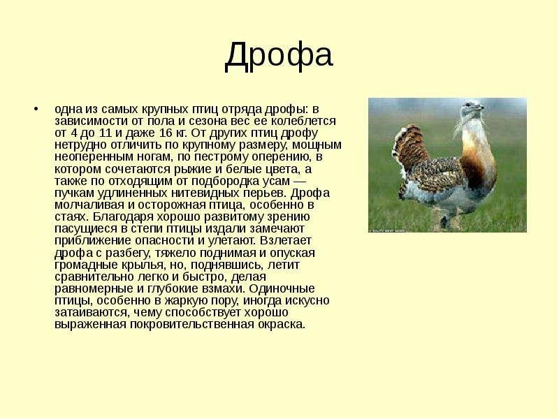Дрофа одна из самых крупных птиц отряда дрофы: в зависимости от пола и сезона вес ее колеблется от 4