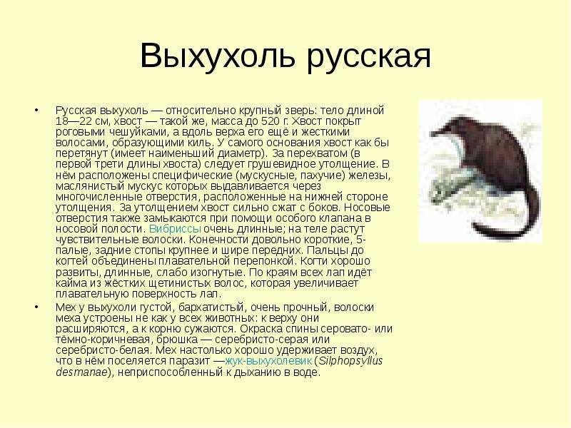 Выхухоль русская Русская выхухоль — относительно крупный зверь: тело длиной 18—22 см, хвост — такой