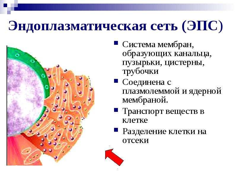 Эндоплазматическая сеть (ЭПС) Система мембран, образующих канальца, пузырьки, цистерны, трубочки Сое
