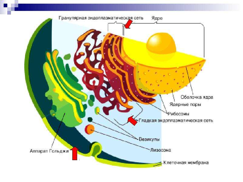 ОРГАНОИДЫ КЛЕТКИ, слайд 14