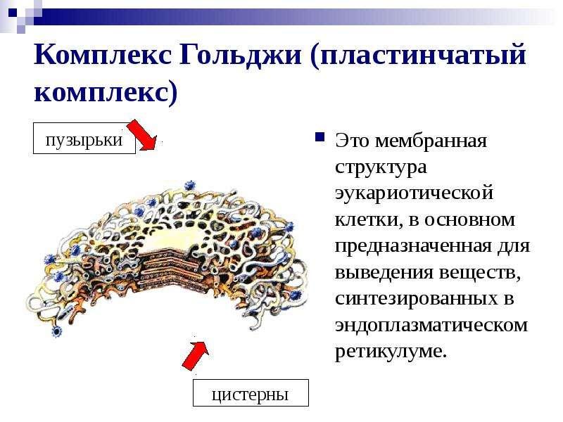 Комплекс Гольджи (пластинчатый комплекс) Это мембранная структура эукариотической клетки, в основном