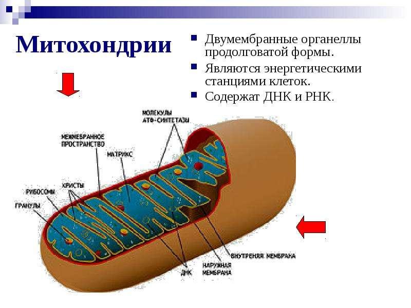 Митохондрии Двумембранные органеллы продолговатой формы. Являются энергетическими станциями клеток.