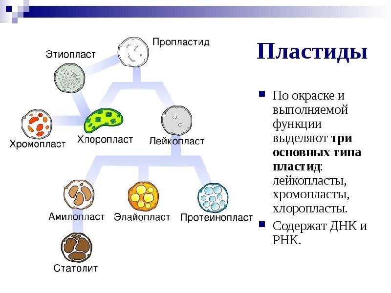 Пластиды По окраске и выполняемой функции выделяют три основных типа пластид: лейкопласты, хромоплас