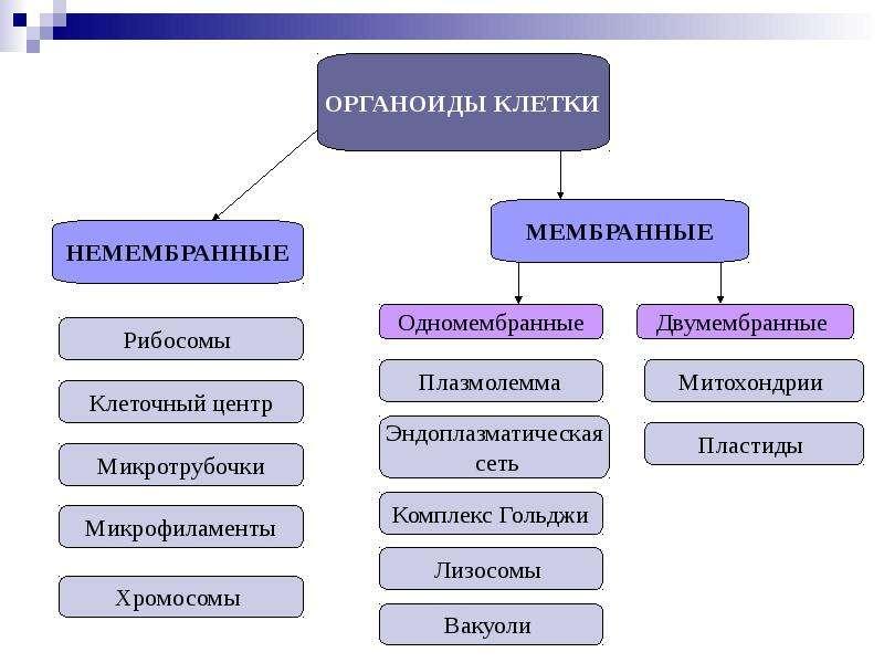 ОРГАНОИДЫ КЛЕТКИ, слайд 4