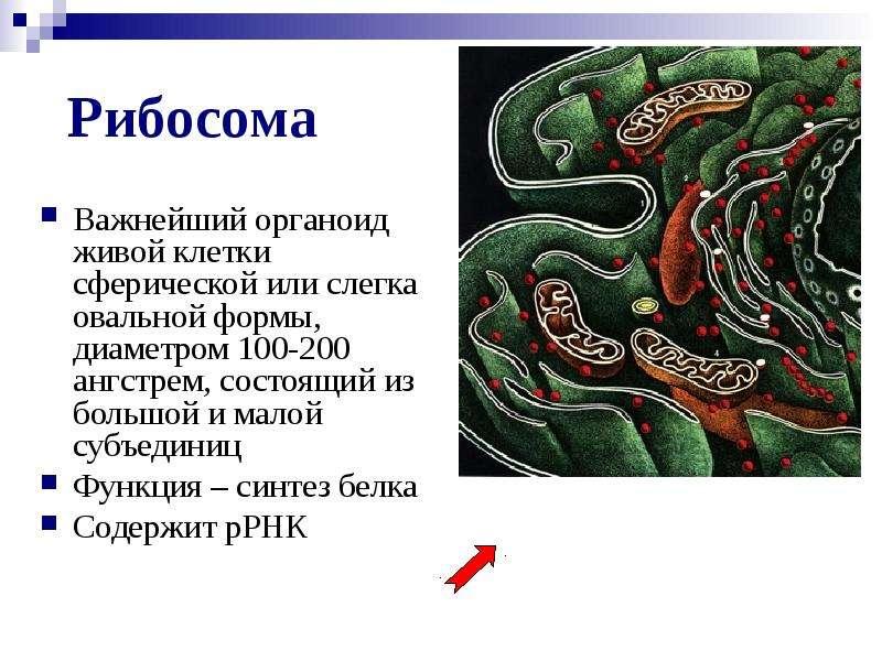 Рибосома Важнейший органоид живой клетки сферической или слегка овальной формы, диаметром 100-200 ан