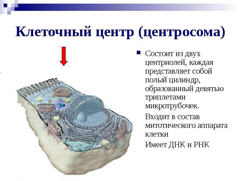 Клеточный центр (центросома) Состоит из двух центриолей, каждая представляет собой полый цилиндр, об