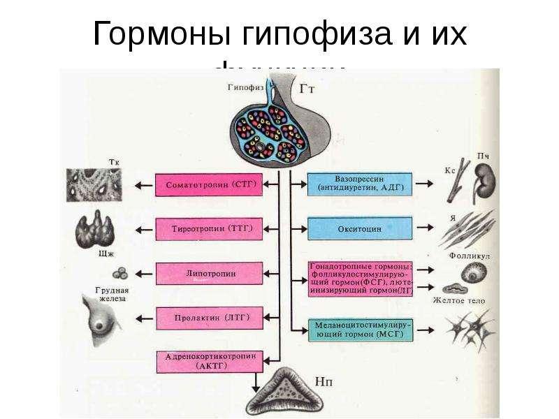 Гормоны гипофиза и их функции