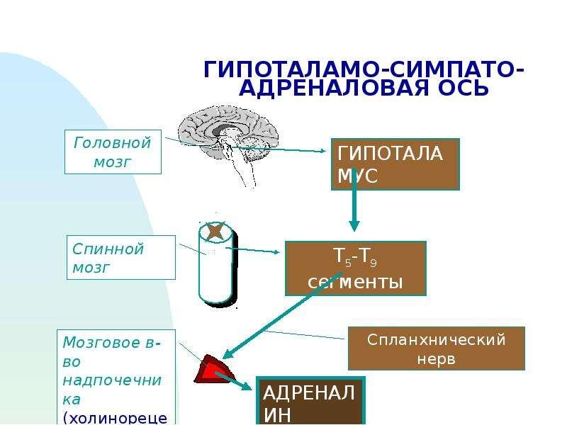 ГИПОТАЛАМО-СИМПАТО-АДРЕНАЛОВАЯ ОСЬ