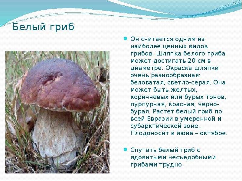 Белый гриб Он считается одним из наиболее ценных видов грибов. Шляпка белого гриба может достигать 2