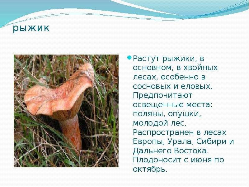 рыжик Растут рыжики, в основном, в хвойных лесах, особенно в сосновых и еловых. Предпочитают освещен