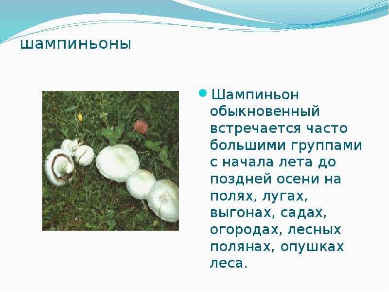 шампиньоны Шампиньон обыкновенный встречается часто большими группами с начала лета до поздней осени