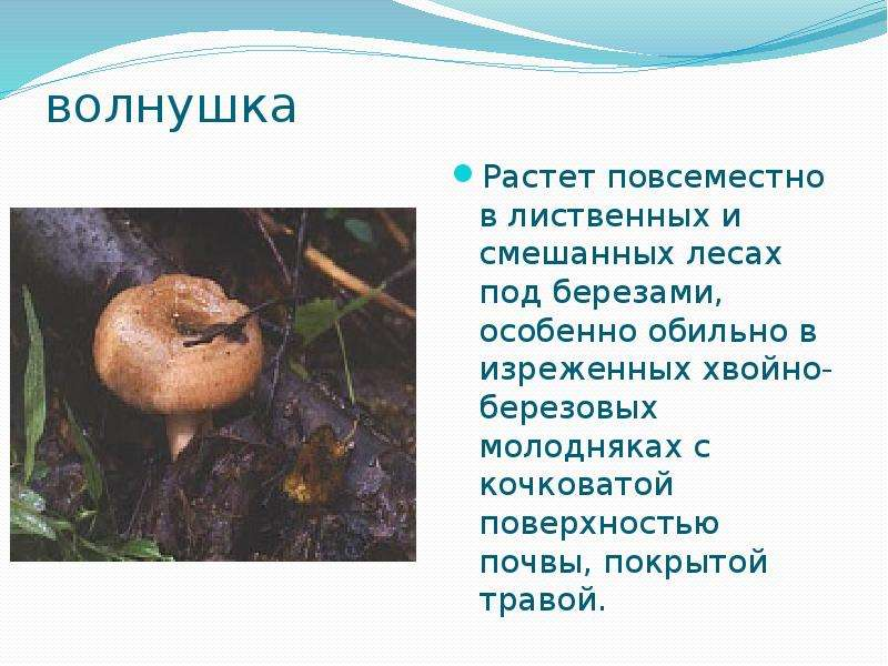 волнушка Растет повсеместно в лиственных и смешанных лесах под березами, особенно обильно в изреженн