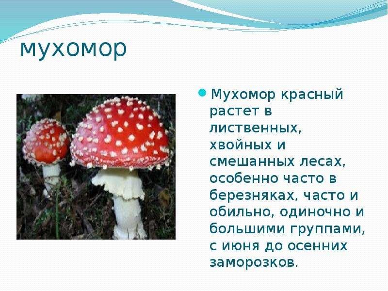 мухомор Мухомор красный растет в лиственных, хвойных и смешанных лесах, особенно часто в березняках,