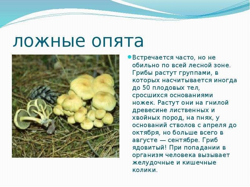 ложные опята Встречается часто, но не обильно по всей лесной зоне. Грибы растут группами, в которых