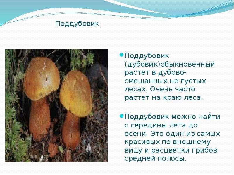 Поддубовик Поддубовик (дубовик)обыкновенный растет в дубово-смешанных не густых лесах. Очень часто р
