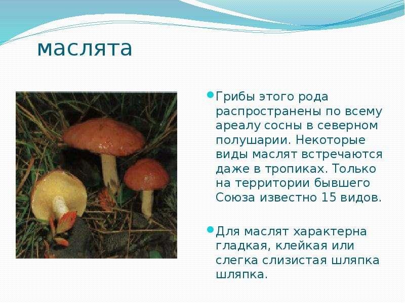 маслята Грибы этого рода распространены по всему ареалу сосны в северном полушарии. Некоторые виды м