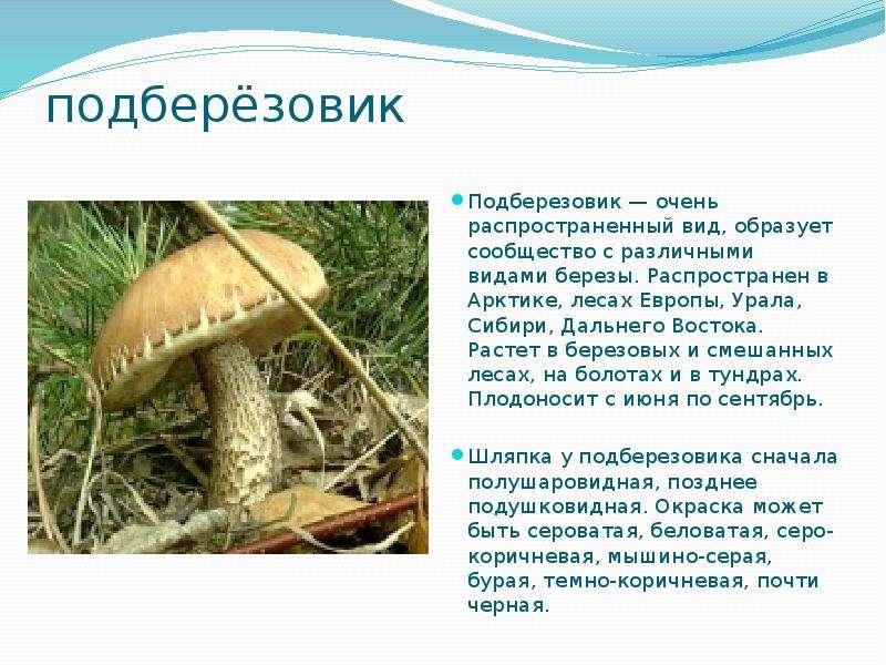 подберёзовик Подберезовик — очень распространенный вид, образует сообщество с различными видами бере