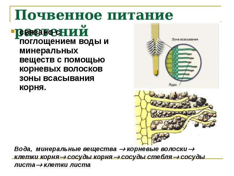 Почвенное питание растений связано с поглощением воды и минеральных веществ с помощью корневых волос