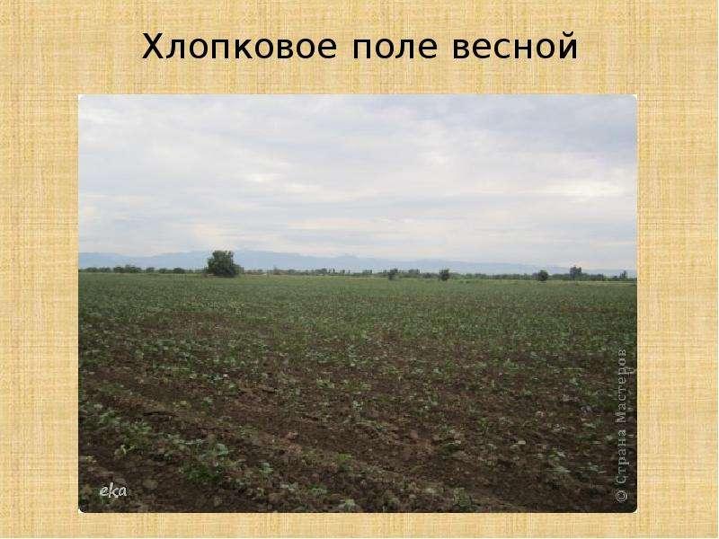 Как выращивают хлопок, рис. 2