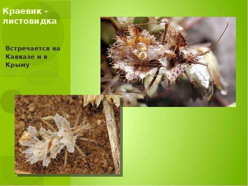 Краевик - листовидка Встречается на Кавказе и в Крыму