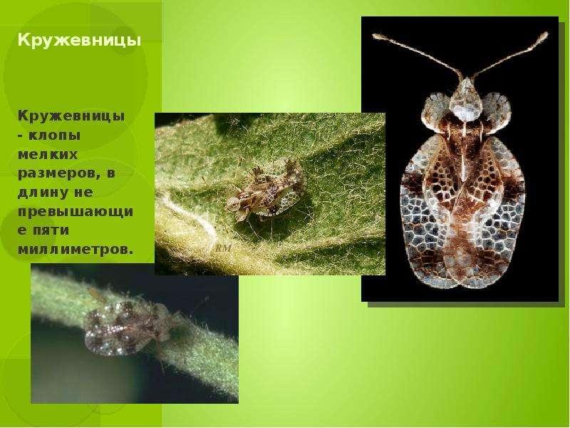Кружевницы Кружевницы - клопы мелких размеров, в длину не превышающие пяти миллиметров.
