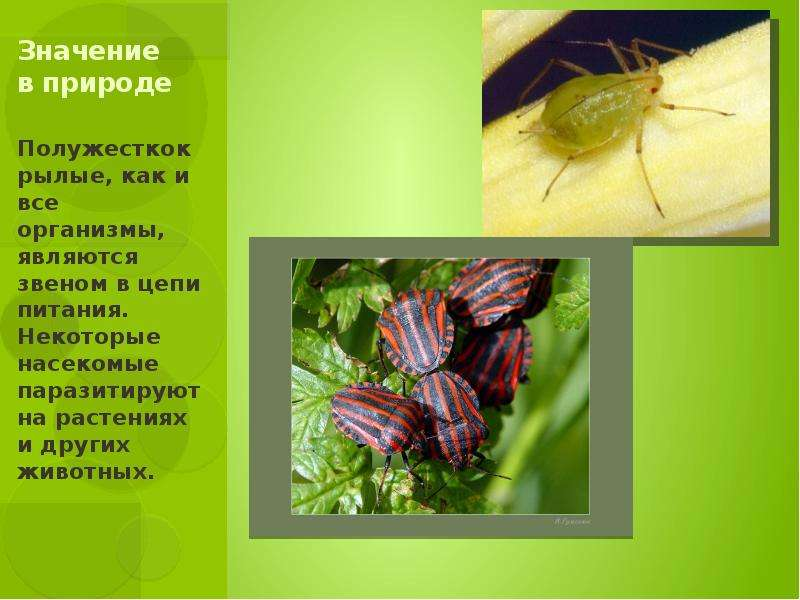 Значение в природе Полужесткокрылые, как и все организмы, являются звеном в цепи питания. Некоторые