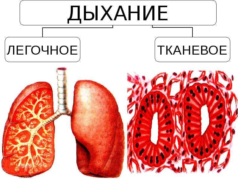 Дыхание. Органы дыхательной системы. Легкие, слайд 3