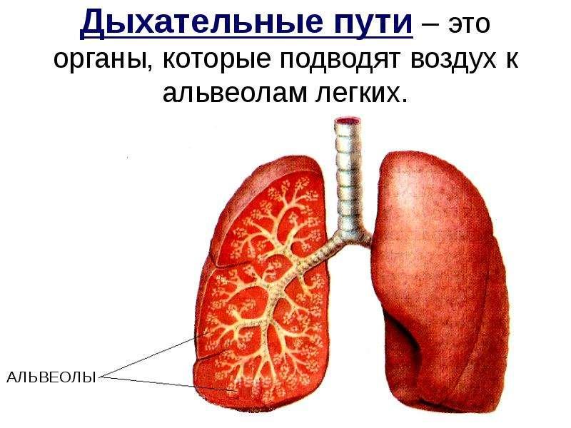 Дыхательные пути – это органы, которые подводят воздух к альвеолам легких. АЛЬВЕОЛЫ
