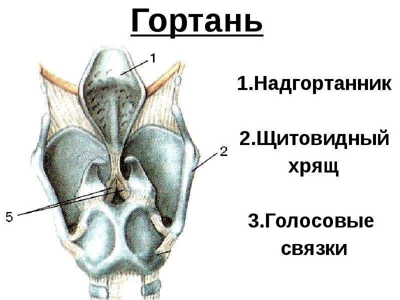 Щитовидный хрящ в картинках