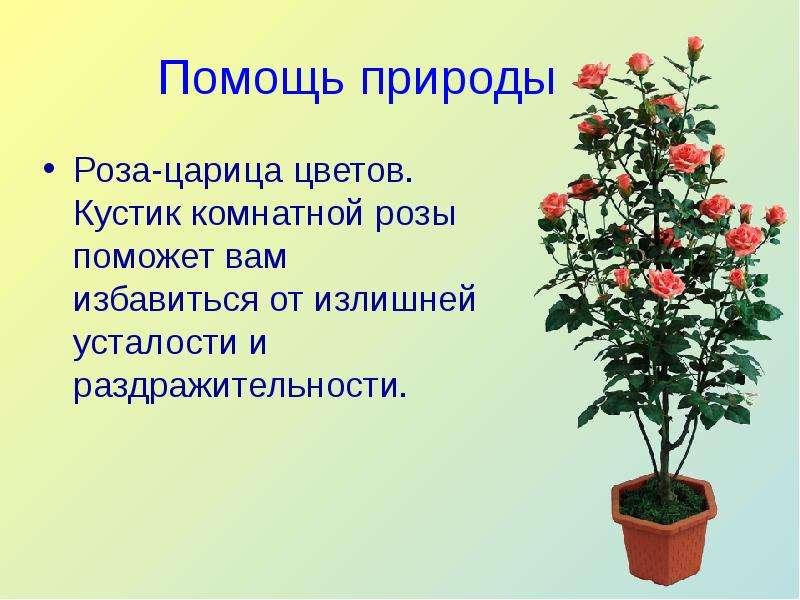 Помощь природы Роза-царица цветов. Кустик комнатной розы поможет вам избавиться от излишней усталост