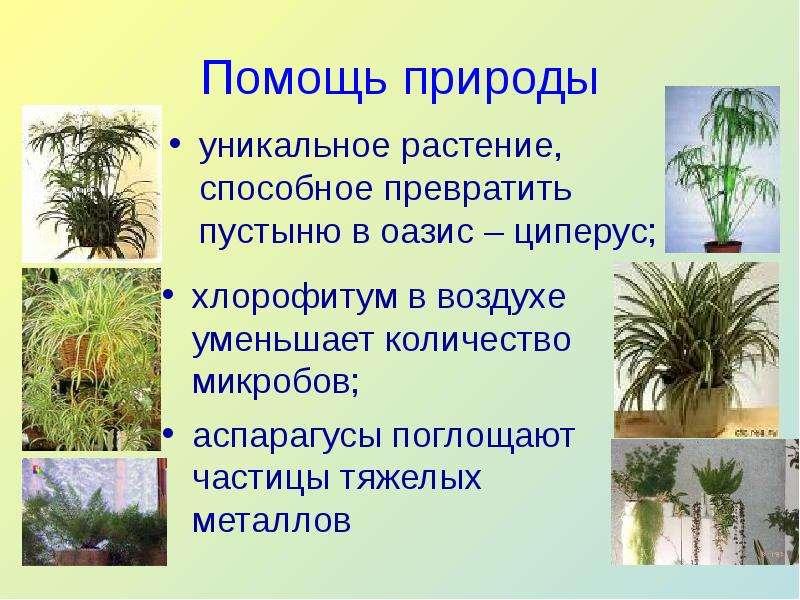 Помощь природы уникальное растение, способное превратить пустыню в оазис – циперус;