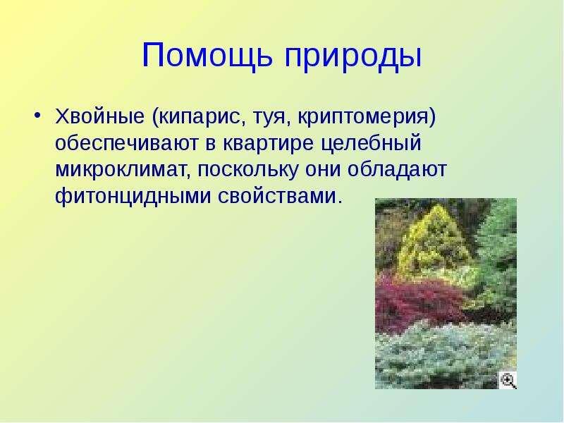 Помощь природы Хвойные (кипарис, туя, криптомерия) обеспечивают в квартире целебный микроклимат, пос