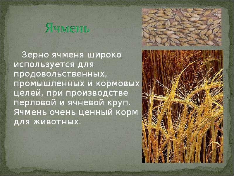 Пшеница описание и картинки