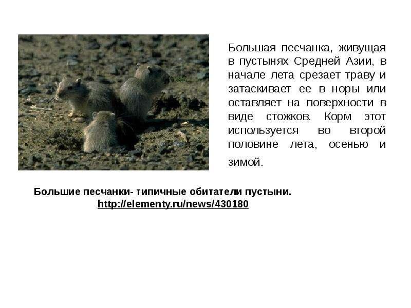 Большая песчанка, живущая в пустынях Средней Азии, в начале лета срезает траву и затаскивает ее в но