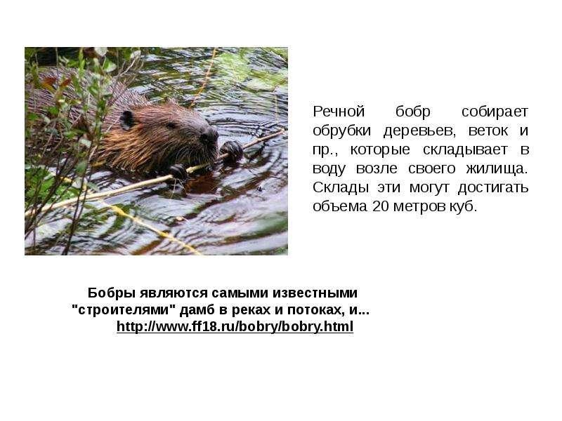 Речной бобр собирает обрубки деревьев, веток и пр. , которые складывает в воду возле своего жилища.
