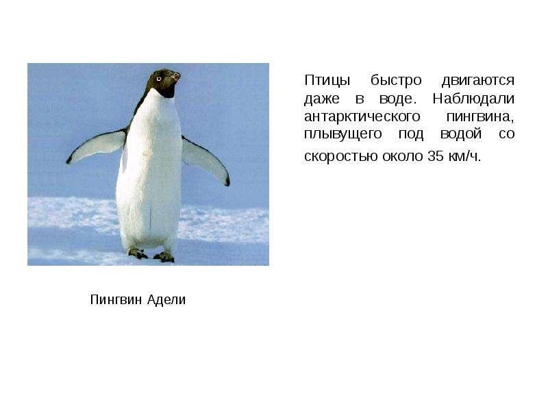 Птицы быстро двигаются даже в воде. Наблюдали антарктического пингвина, плывущего под водой со скоро