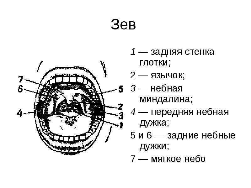 Зев 1 — задняя стенка глотки; 2 — язычок; 3 — небная миндалина; 4 — передняя небная дужка; 5 и 6 — з