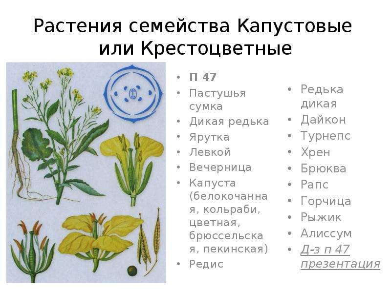 Растения семейства Капустовые или Крестоцветные П 47 Пастушья сумка Дикая редька Ярутка Левкой Вечер