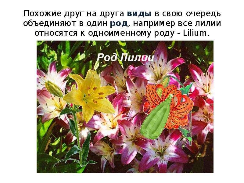 Похожие друг на друга виды в свою очередь объединяют в один род, например все лилии относятся к одно