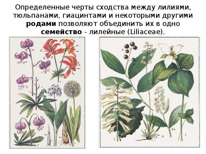Определенные черты сходства между лилиями, тюльпанами, гиацинтами и некоторыми другими родами позвол