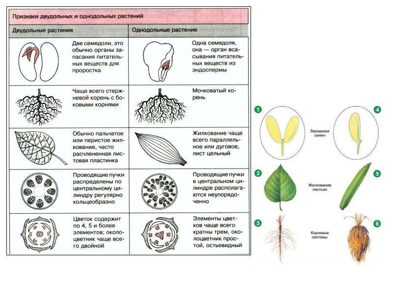 Систематика. Семейство Капустовые, слайд 7