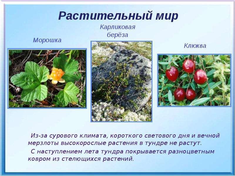 Природные зоны холодного пояса, слайд 13