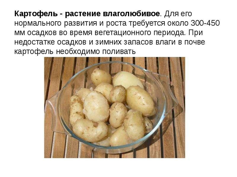 Картофель - растение влаголюбивое. Для его нормального развития и роста требуется около 300-450 мм о