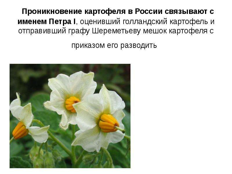 Проникновение картофеля в России связывают с именем Петра I, оценивший голландский картофель и отпра