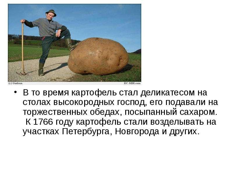 В то время картофель стал деликатесом на столах высокородных господ, его подавали на торжественных о