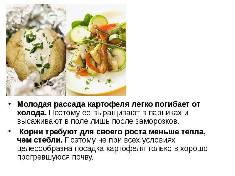 Молодая рассада картофеля легко погибает от холода. Поэтому ее выращивают в парниках и высаживают в