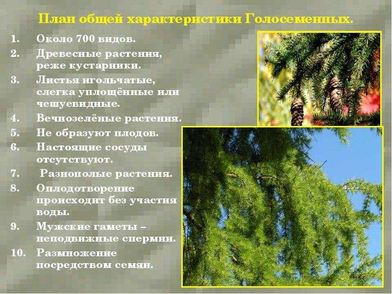 План общей характеристики Голосеменных. Около 700 видов. Древесные растения, реже кустарники. Листья